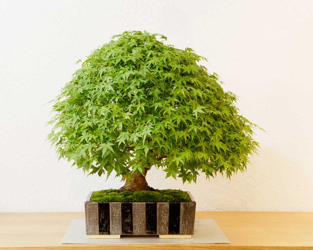鉢植え | グリーンスケープ中目黒の盆栽店